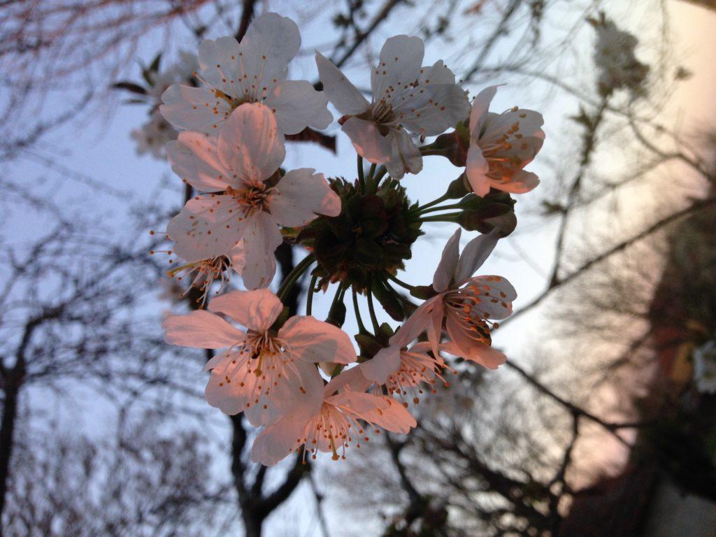 sophro-mobile. une respir au téléphone fleur de cerisier